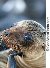 Sea Lion Close Up - A young Sea Lion ponders the...