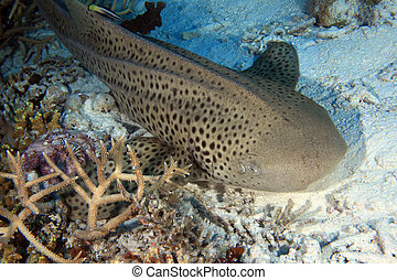 Zebra shark on the sandy bottom