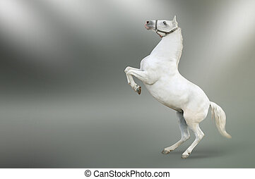 White horse rearing isolated picture