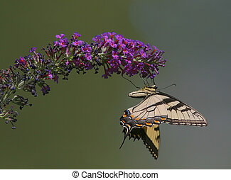 Tiger Swallowtail Butterfly (papilio glaucas) on a butterfly...