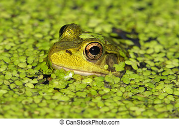 Green Frog (Rana clamitans) in a pond covered with duck weed...