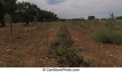 Row of cherry tomatoes beside olive tree orchard