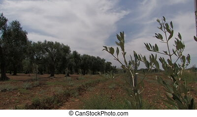 Olive tree branches in the wind, with field of cherry...