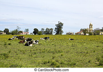 Herd of cows resting in Uruguay. Uruguay is one of the...