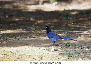 formosa magpie - blue body with black head,formosa magpie