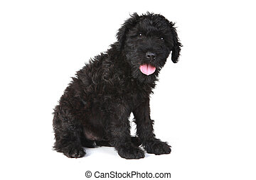 Cute Black Russian Terrier Puppy Dog on White Background -...