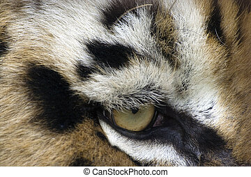 Eye of the tiger - Closeup of an eye of a tiger