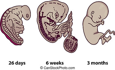 Successive stages of human embryonic development - The...