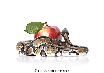 Python Snake with apple - Royal Python with red apple...