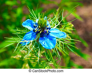 Nigella damascena flowers in the garden