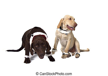 Two Silly Labrador Retrievers - Happy Funny Chocolate and...