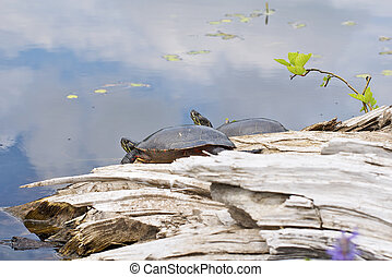 Two Painted Turtles by the River - Two Painted Turtles on a...