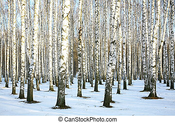 Sunny snow birch grove in december