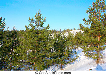 Winter forest with pines on the hills