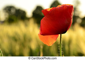 Poppy flower on a blurred background fields - The photo...