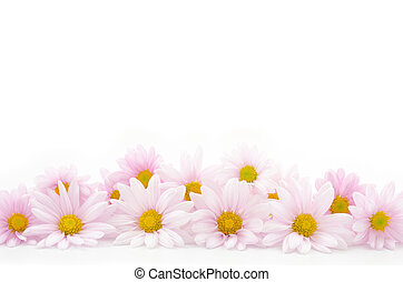 Side by side flowers - Pale pink chrysanthemum flowers side...