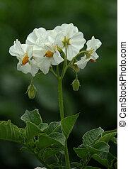 Flowers of a potato