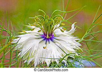 Nigella - Beautiful delicate flower on a background a green...