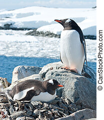 Male and female Gentoo penguins near the nest. - Male and...