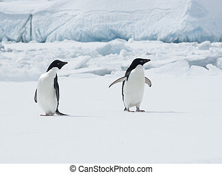Pair of Adelie penguins on an ice floe. - Pair of Adelie...