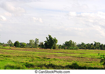 Farmer working at rice paddy