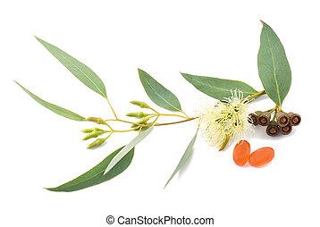 eucalyptus, tak