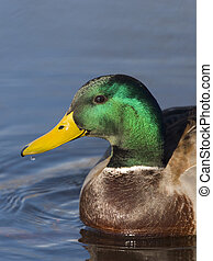 Mallard Drake - Head shot of a Mallard swimming in a pond