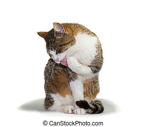 Cat grooming its paw - Pretty domestic cat sitting grooming...