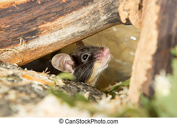 Little mouse under a log - Cute little mouse peering out...