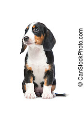 Dachshund puppy, Westphalian Dachsbracke on white background
