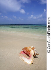 Conch - Tropical conch on a beach