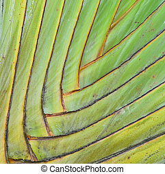 Palm petiole pattern  - Petiole pattern of Traveller's Palm