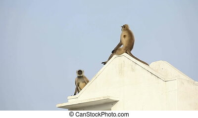 Langurs - Couple of langurs observing from the rooftop