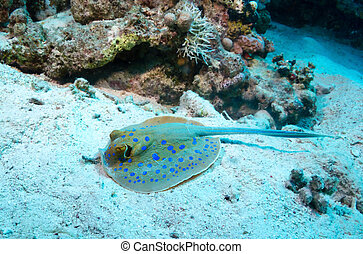 Bluespotted ray - Bluespotted ribbontail ray, feeding on the...