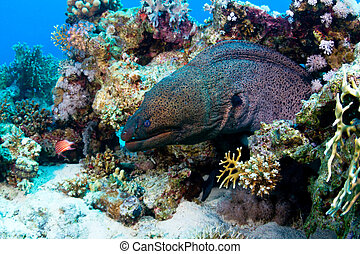 Giant moray Gymnothorax javanicus in the Red Sea, Egypt