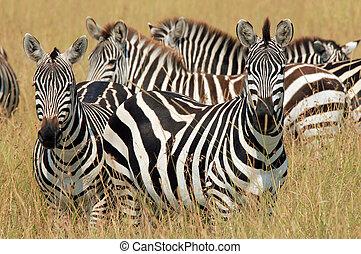 Plains Zebras (Equus Quagga) in High Grass, Maasai Mara, Kenya