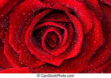 Single red rose flower
