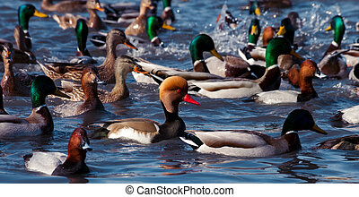 Ducks floating on the water - Beautiful ducks floating on...