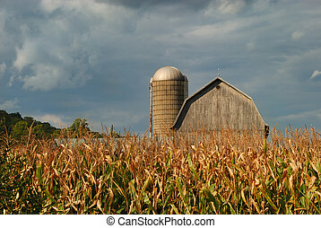 Rural Cornfield - Barn with silo in golden cornfield