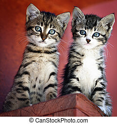 Pair of kittens - Portrait of a gray tiger kittens curiously...