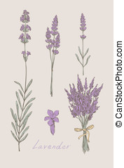 lavender hand drawn set vector