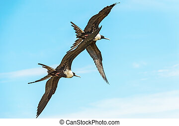 Two birds flying high over blue sky on Pacific Ocean
