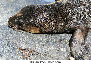 Young Sea Lion - A young Sea Lion rests on the rocky...
