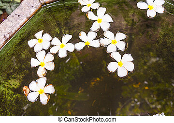 Plumeria flower Frangipani floating in the water