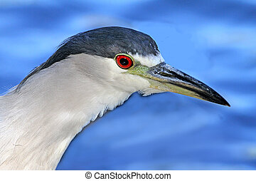 Black-crowned, Night-Heron