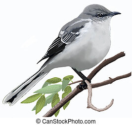 Northern Mockingbird perched - Northern Mockingbird (Mimus...
