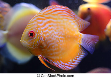 Discus fish, yellow Symphysodon Discus in aquarium