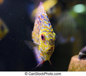 Discus fish, yellow Symphysodon Discus in aquarium.