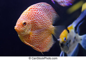 Discus fish, red Symphysodon Discus in aquarium