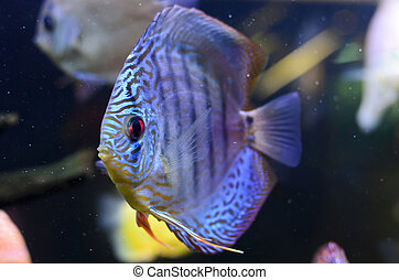 Discus fish, blue Symphysodon Discus in  aquarium.